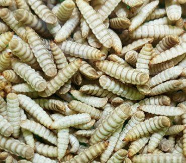 Istraživačka skupina za insekte kao hrane za životinje i ljude
