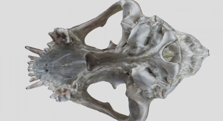 Digitalni anatomski model lubanje psa