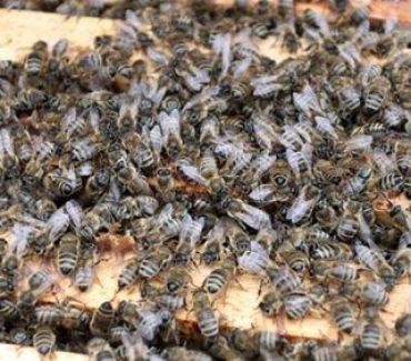 Naša prodekanica prof. dr. sc. Ivana Tlak Gajger uključila se u istraživanje uzroka velikog pomora pčela u Međimurju