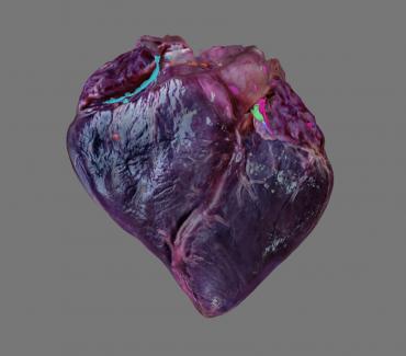 Izrađen je 3D digitalni model srca dobrog dupina